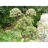 Best angelica sinensis extract chinese angelica extract--1% Ligustilide, 10:1 Angelica Sinensis wholesale