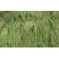 Cheap Oat Straw Extract 10:1 for sale