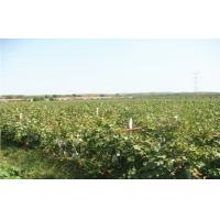 Buy cheap Thin Skin Concord Black / Red Globe Grapes 26 - 28mm Rich Vitamins, The average from wholesalers