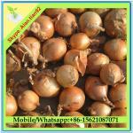Best Fresh Onion wholesale