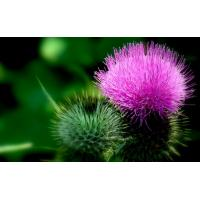 China High Quality Natural Milk Thistle Extract/Milk Thistle Extract Powder/Silymarin/Silybin on sale