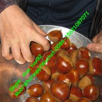 Buy cheap Dandong Chestnut 5kg Gunny Bag Packaging Fresh chestnut (30-40Pcs/kg) from wholesalers