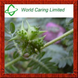 Best Natural Herbal Viagra Tribulus Terrestris Extract herbal extract 40%-98% Tribulu HPLC wholesale