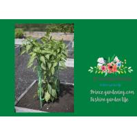 """Cheap Durable Steel Garden Plant Supports / Grow Through Plant Supports Plastic Coated 11"""" W x 35"""" H overall for sale"""