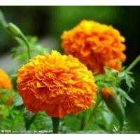 Best Manufacturer supply hiagh quality Marigold P.E Lutein 2% 20% natural color agent wholesale