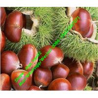 Buy cheap High Quality 5kg Gunny Bag Packaging Chinese Fresh chestnut (40-50Pcs) from wholesalers