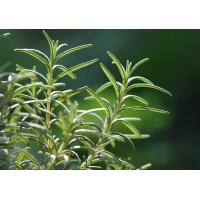 Best Natural and pure Rosemary Essential Oil from Rosmarinus officinalis L wholesale