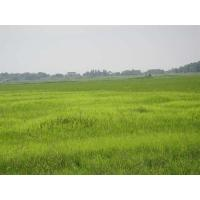 China Bentazone 95% TC/herbicides/Ochre-yellow solid on sale