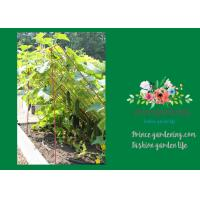 Best Medium Garden Plant Trellis / Cucumber Plant Trellis Powder Coated Steel wholesale