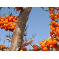 Best Natural Oil-soluble sea buckthorn extract yellow pigment wholesale