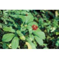 China Ginseng Panax Extract on sale