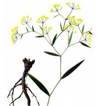 Best Bupleurum chinense DC. dried root wholesale