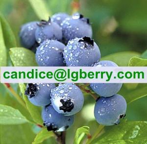 China Food supplement organic blueberry powder on sale