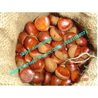 Buy cheap Chinese 40-50Pcs,5kg Gunny bag packaging Fresh chestnut For Middle east market from wholesalers