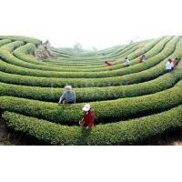 China Green tea extract dietary supplementation on sale