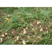 Cheap Dried Lily root Lilium brownii var viridulum bulb tuber without sulphur raw for sale