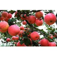 China Crunchy Juicy Sweet Red Fuji Apple 0.15kg From Pollution Free on sale