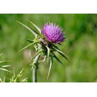Best Natural 80% Silymarin Milk Thistle Extract Used to detoxify and reduce the blood fat wholesale