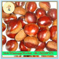 Buy cheap Hot Sell 10kg Mesh bag Packaging Chinese Fresh chestnut (40-60Pcs/kg) from wholesalers