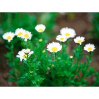 Cheap Pyrethrum 50%SL Biopesticides Natural CAS No 8003-34-7 For Flower for sale
