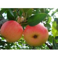 Buy cheap 2013 New fresh red fuji apple, organic apple green plant from wholesalers