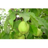 Buy cheap Sweet Green Cold Store Fresh Pears With High Energy , Vitamin C from wholesalers