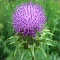 China Milk thistle extract powder natural antioxidant on sale