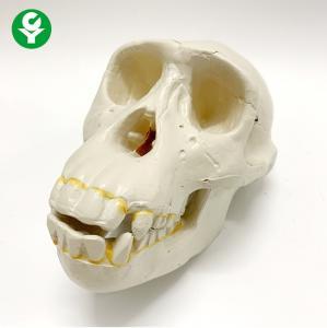 China Life Size Human Skull Anatomy Model Chimpanzee Teaching High Accuracy on sale