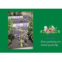"""Cheap Triangle Grow Through Plant Supports For Tomato 11"""" W X 47"""" H Overall Plastic for sale"""