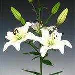China All Flowers Asiatic Lily - White on sale