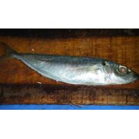 Best Sea-star Aquatic Food co.,ltd-horse mackerel 6-8 pcs per kilo wholesale