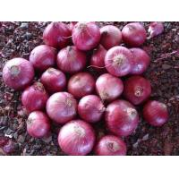China Red Onion on sale