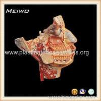 Model of facial nerve and blood vessel free 3d human anatomy models