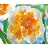 Best Flowers Daffodil, Love Call wholesale