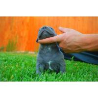 Best XXL Blue and Red American Pit Bull Terriers For Sale (929) 324-0371 wholesale